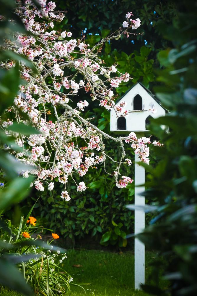 cherry-blossom-1270814