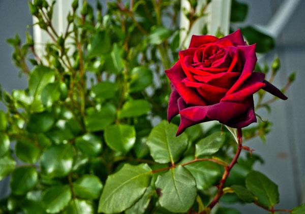 red-rose-1280153
