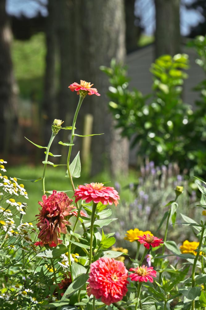 Zinnias-past-their-best